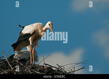 A little curious young white stork (Ciconia ciconia) standing on the edge of the nest built on the roof of the house - Stock Photo