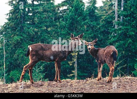 BLACK TAIL DEER IN EARLY SNOWSTORM ON HURRICANE RIDGE; (ODOCOILEUS COLUMBIANUS); OLYMPIC NATIONAL PARK; WASHINGTON; - Stock Photo