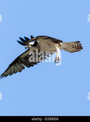 Osprey in flight, Pandion haliaetus, sea hawk, fish eagle, river hawk, fish hawk, raptor, Chaffee County, Colorado, - Stock Photo