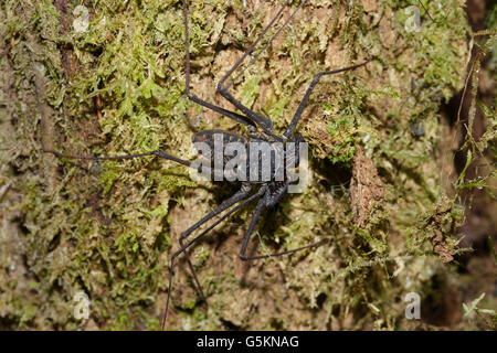 Whip spider, Amblypygi, also known as a tailless whip scorpion - Stock Photo