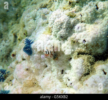 Christmastree worms (Spirobranchus giganteus) still alive in bleached coral colony that has died and is being overgrown - Stock Photo