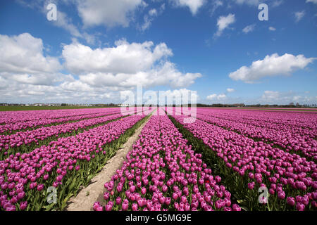 Purple tulips in a row on a beautiful sunny spring day with a blue sky. Nature spring picture. - Stock Photo