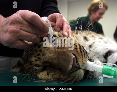 Animal Health Trust Leopard Operation - Stock Photo