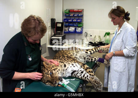 Animal Health Trust Amur leopard - Stock Photo