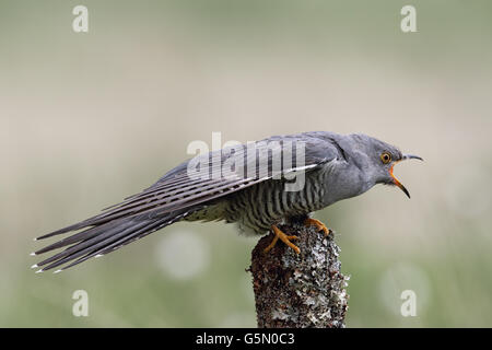 Wild adult Male Cuckoo (Cuculus canorus) calling. Image taken in Scotland, UK. - Stock Photo