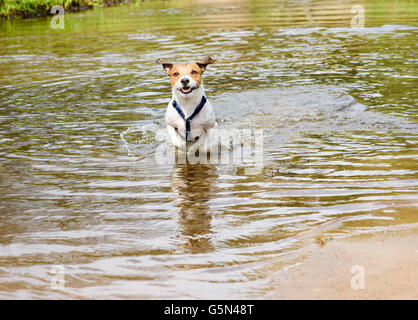 Dog running and playing in water at beach of small river - Stock Photo