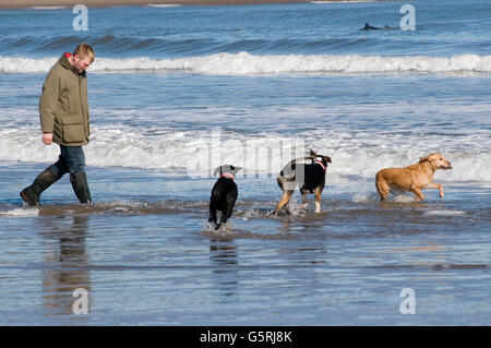 man walking dogs on beach beaches dog walk walkies sea surf run running in the uk - Stock Photo