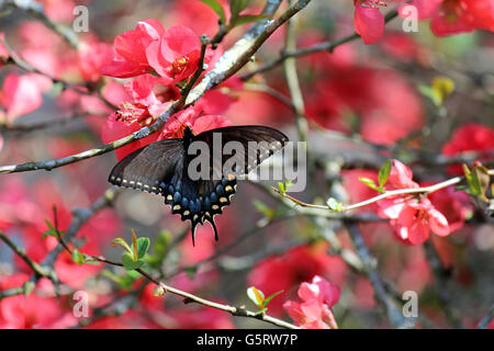 swallow tail butterfly feeding on red flowers - Stock Photo