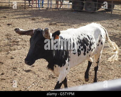 Small bullring in village of Portugal.Bull ready to charge . - Stock Photo