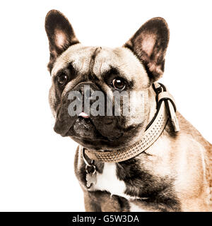 Close-up of a French Bulldog sticking the tongue out and looking at the camera, isolated on white - Stock Photo