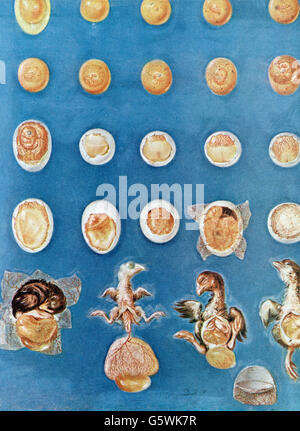 medicine, anatomy, embryo, painting by Jacques Gautier d'Agoty (circa 1716 - 1785), circa 1750, Additional-Rights - Stock Photo