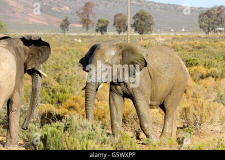2 Elephants facing each other at a watering hole - Stock Photo