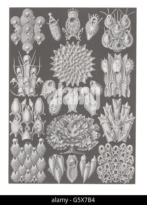 zoology / animals, moss animals (Bryozoa), colour lithograph, out of: Ernst Haeckel, 'Kunstformen der Natur', Leipzig - Stock Photo