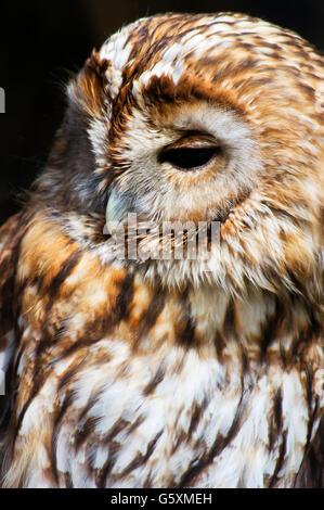 Eurasian tawny owl (Strix aluco) portait. - Stock Photo