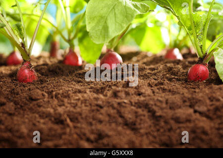 Red radish plants growing in soil outdoors - Stock Photo