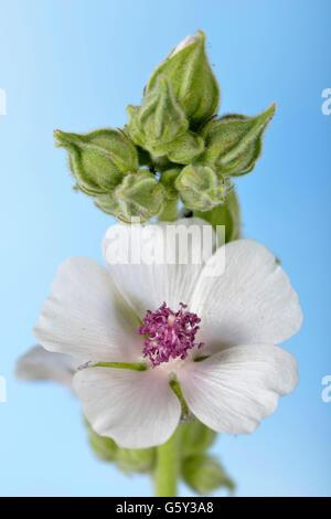 Marsh Mallow / (Althea officinalis) - Stock Photo