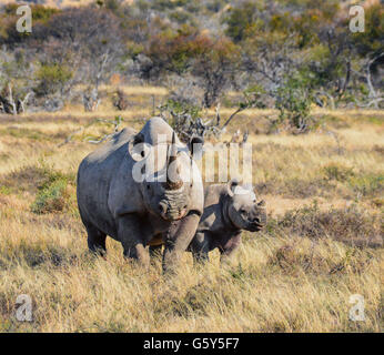 A Black Rhinoceros mother and six month old calf in the Eastern Cape, South Africa - Stock Photo