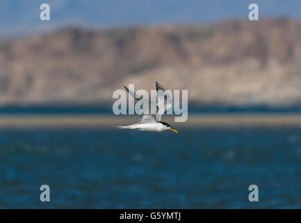 Greater crested tern (Thalasseus bergii) flying over sea, Diaz, Lüderitz Peninsula, Karas Region, Namibia - Stock Photo