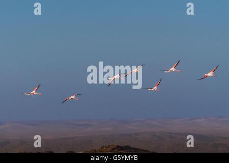 Pink flamingos (Phoenicopterus roseus), flying, Namib Desert behind, Diaz Peninsula, Lüderitz, Karas Region, Namibia - Stock Photo