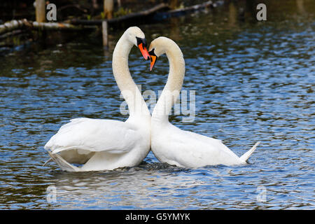 Mute Swans (Cygnus olor), displaying couple on the water, Hamburg, Germany - Stock Photo