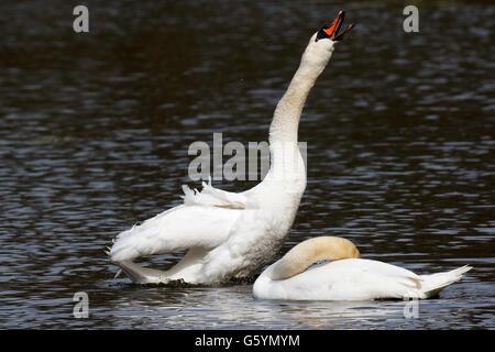 Mute Swans (Cygnus olor), displaying couple on the water, Hamburg, Germany Stock Photo
