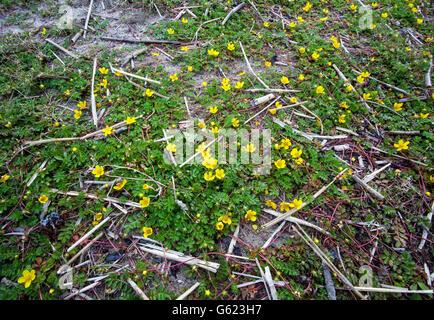 Common silverweed (Potentilla anserina) - Stock Photo