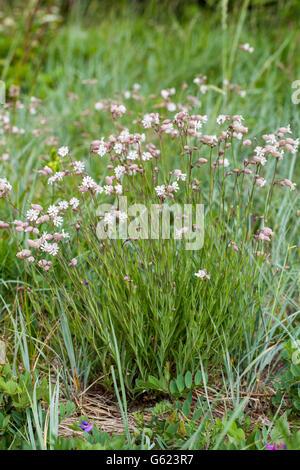 Bladder campion (Silene vulgaris ssp. littoralis) - Stock Photo