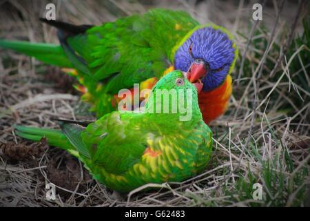 Rainbow Lorikeets Nesting - Stock Photo