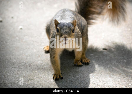 Staring contest with common squirrel - Stock Photo