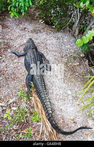 Florida, Everglades National Park, Anhinga Trail, view from boardwalk, American Alligator (Alligator mississippiensis) - Stock Photo