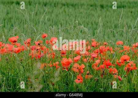 Crimson Poppies on Mere Down, Wiltshire - Stock Photo