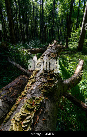 fallen beech (Fagus sylvatica ) , which is no longer eliminated and is part of a primeval forest in the Vienna Woods - Stock Photo
