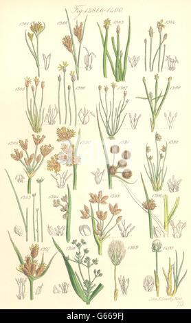 WILD FLOWERS: Beak-rush Spike-Water-Bull-Club-Cotton-grass. SOWERBY, 1890 - Stock Photo