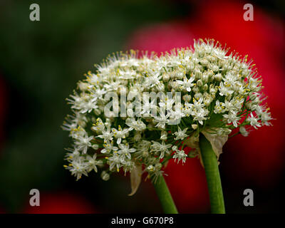 spheres of onions flowers  on red background, elegante and unusual - Stock Photo