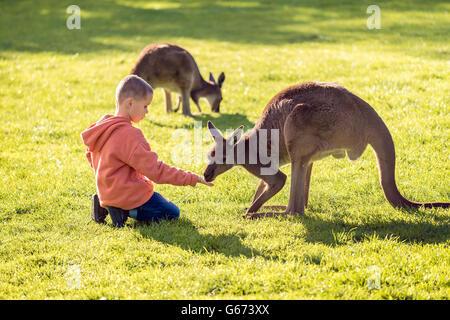 Little kid sitting on the ground and feeding kangaroo. - Stock Photo