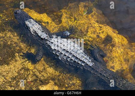 Florida, Big Cypress National Preserve, Oasis Visitor Center, American Alligator (Alligator mississippiensis) boardwalk - Stock Photo