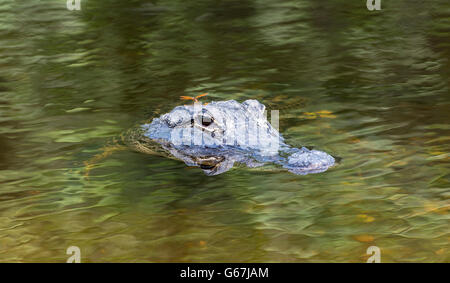 Florida, Big Cypress National Preserve, American Alligator (Alligator mississippiensis) viewed from Turner River - Stock Photo