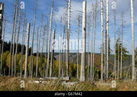 Dead trees, Brocken, Harz, Germany, common spruce / (Picea abies) - Stock Photo