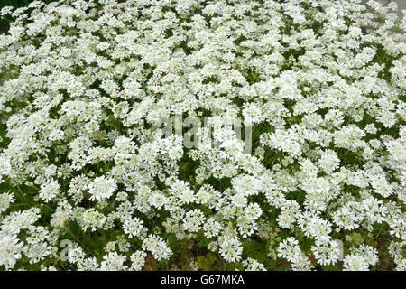 White lace flower / (Orlaya grandiflora) - Stock Photo