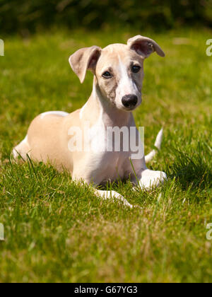 Whippet puppy at three months lying on the lawn - Stock Photo