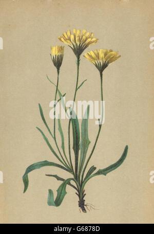 ALPENFLORA: Hieracium staticifolium Vill-Grasnelkenblättriges Habichtskraut 1897 - Stock Photo