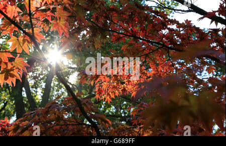 Sun shining through the leaves of a Japanese maple - Stock Photo