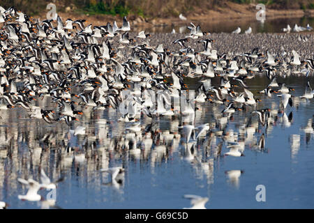 A flock of oystercatchers (Haematopus ostralegus) lift off with large numbers of Knot (Calidris canutus) in the - Stock Photo