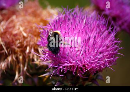 Hummel auf der Bluete einer Distel, Soveria, Korsika, Frankreich. - Stock Photo
