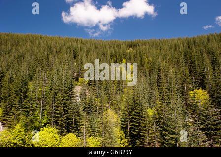 Evergreen forest, Mount St. Helens National Volcanic Monument, Washington, USA - Stock Photo