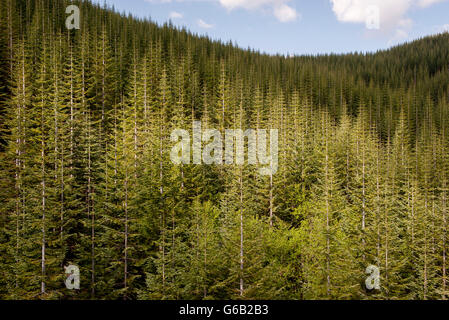 Evergreen forest, Washington, USA - Stock Photo