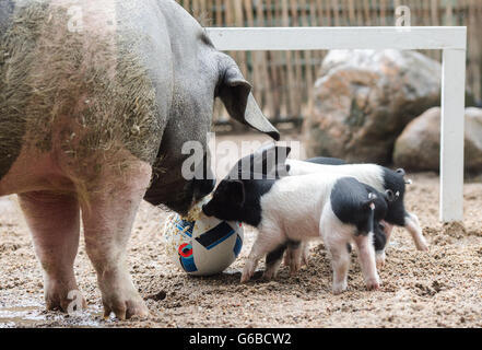Hamburg, Germany. 24th June, 2016. Piglets of the Angeln Saddleback pigs playing with her mother Emma (l) with a - Stock Photo