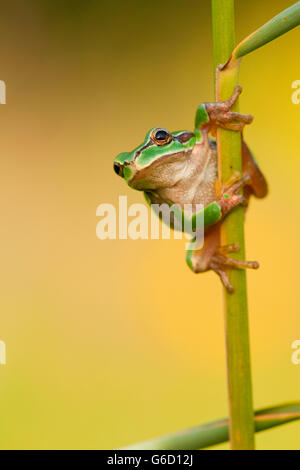 European tree frog, Germany / (Hyla arborea) - Stock Photo