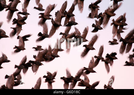 common starling, swarm of birds, migratory birds, Germany / (Sturnus vulgaris) - Stock Photo