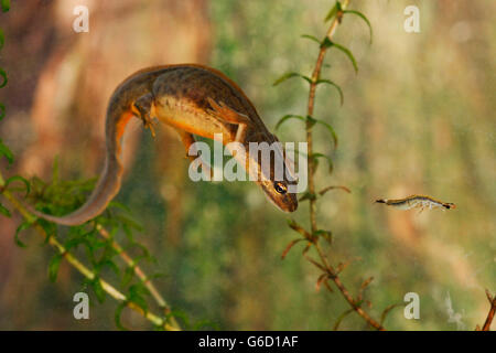 smooth newt, female, water beetle nymph, Germany / (Lissotriton vulgaris) - Stock Photo